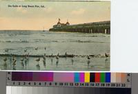 """Sea Gulls at Long Beach Pier, Cal.""ca. 1906"