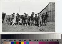 Harry Phillips Jr. and his eight-horse team at the Phillips Ranch, Rolling Hills...