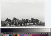 Eight-horse plow team on the Phillips Ranch, Rolling Hills Estates