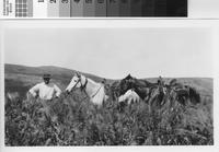 Harry Phillips Jr. with horses in barley field.
