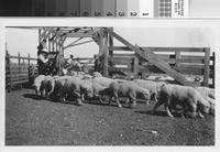 Weighing sheep at the Phillips Ranch, Rolling Hills Estates