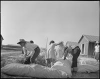 """Poston, Arizona. Filling straw ticks for mattresses at this War Relocation..."